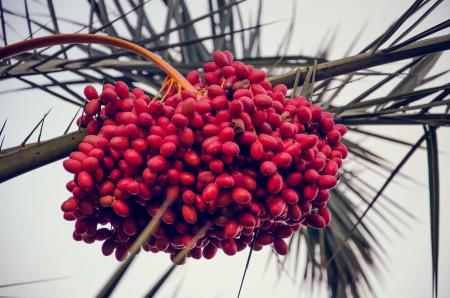 Ripe dates in palm tree