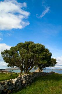 Mature Box tree on coast