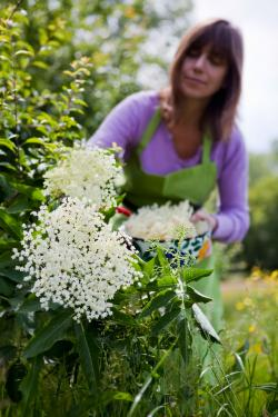 woman picking elderflowers