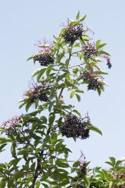 Clusters of elderberries on branch