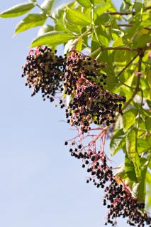 Elderberries and leaves on branch