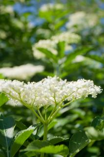 White elderflowers on branch