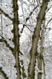 Elder trees in winter