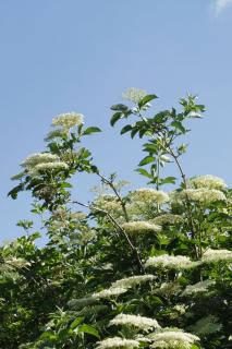 White Elderflowers on tree