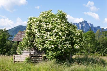 Blooming Elder bush in Austria