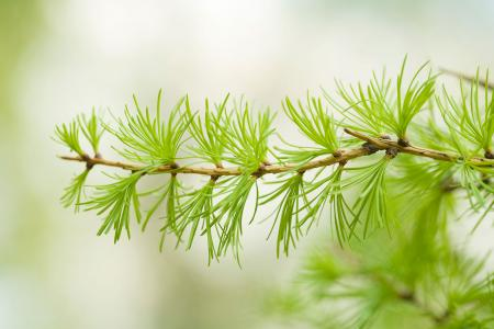 Larch branch with green needles