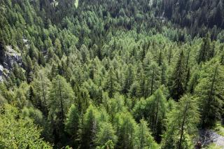Forest of Larch trees