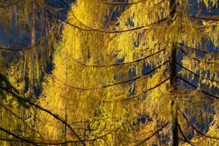 Yellow Larch Trees in Fall