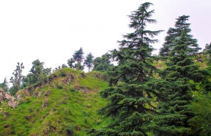 Himalayan Pinus