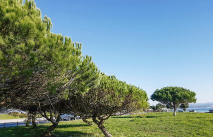 Stone Pinus