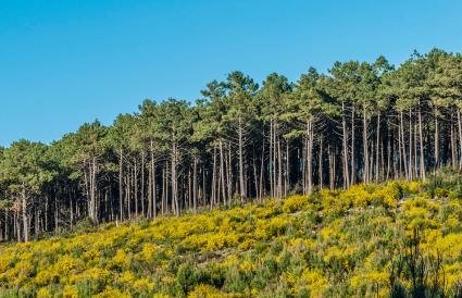 Cluster Pinus
