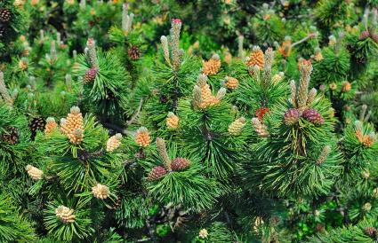 Mountain Pinus