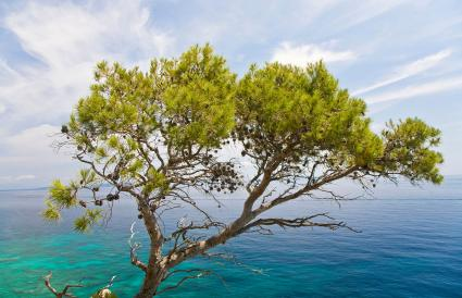 Jerusalem Pinus