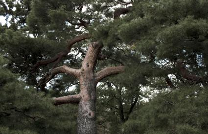 Red Pinus