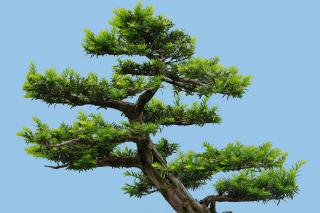 Trimmed yew tree bonsai