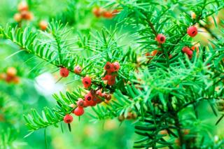 Yew branches with red berries