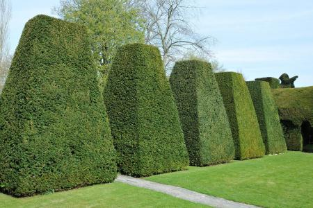 Yew topiary trees in formal garden