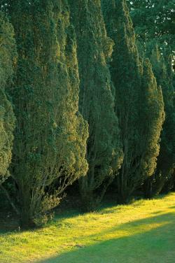 Garden yew trees
