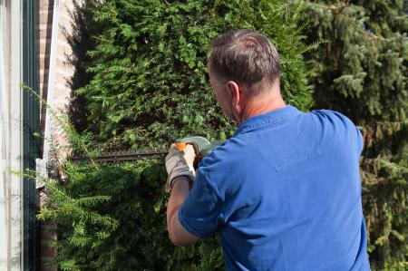 Man pruning yew tree in yard