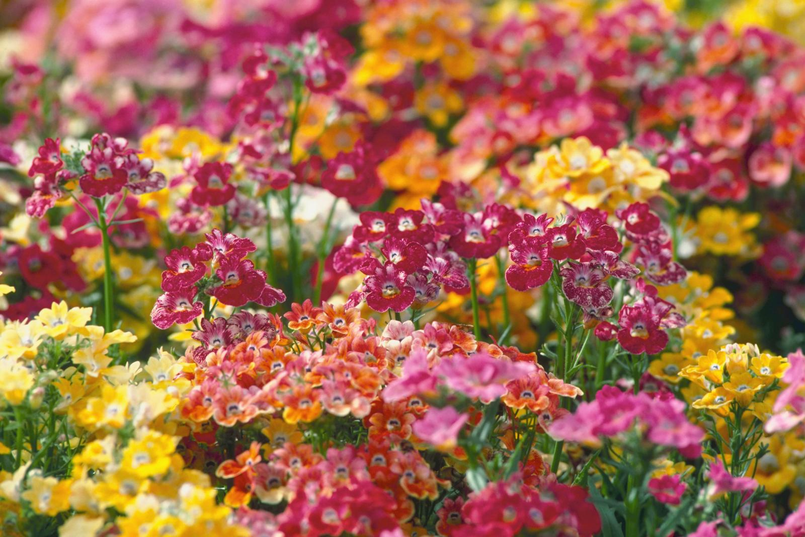 Rainbow Colored Nemesia Flowers