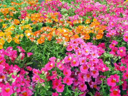 Nemesia - colorful summerflowers