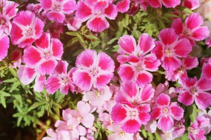 Pink Clarkia Flowers