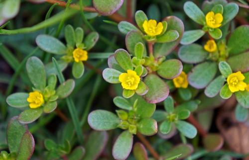 Common purslane flowers