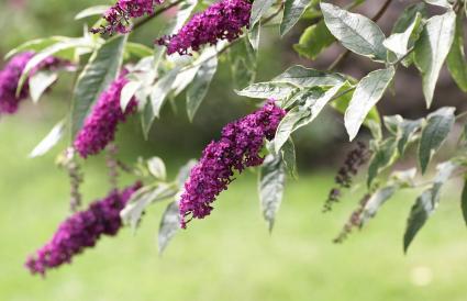 Budleia flowers