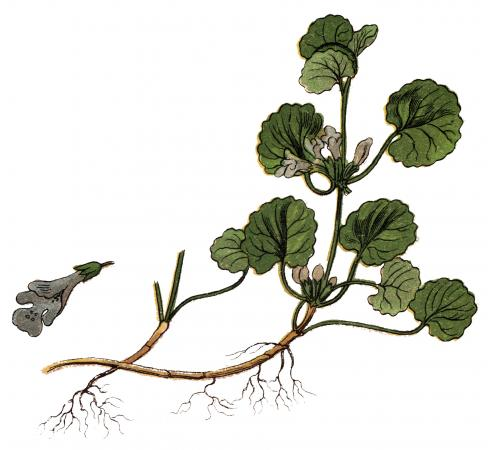 Illustration of a Glechoma hederacea