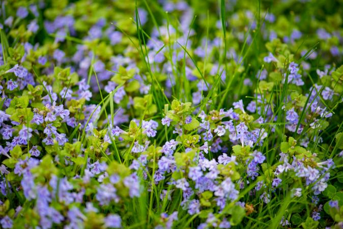 Purple creeping Charlie weed