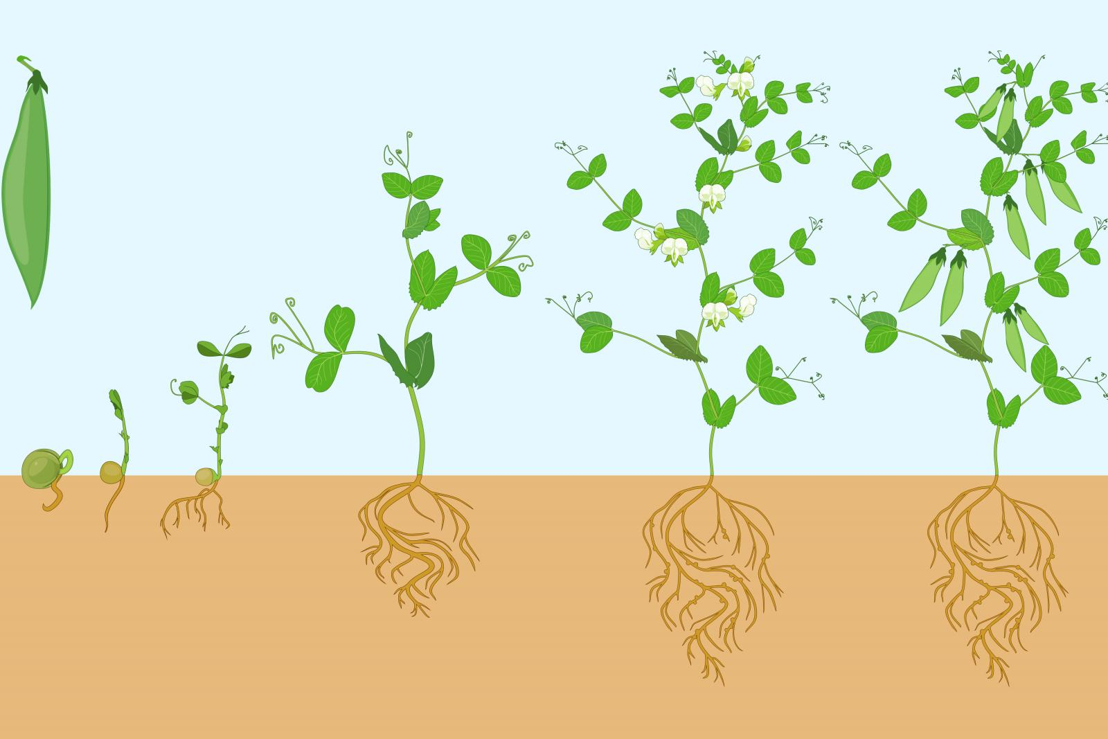 Life cycle of bean plant