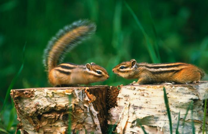 Chipmunks on tree stumps