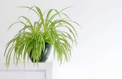 beautiful spider plant