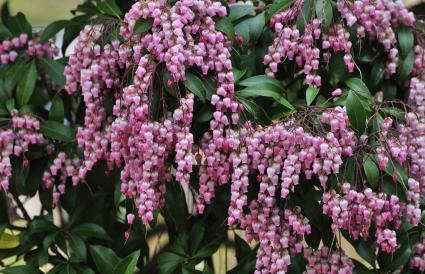 Japanese andromeda flowers