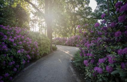 Rhodendron bushes