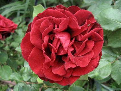 Red Don Juan climbing rose