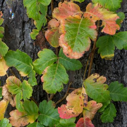 Poison oak vine