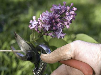 Pruning a lilac