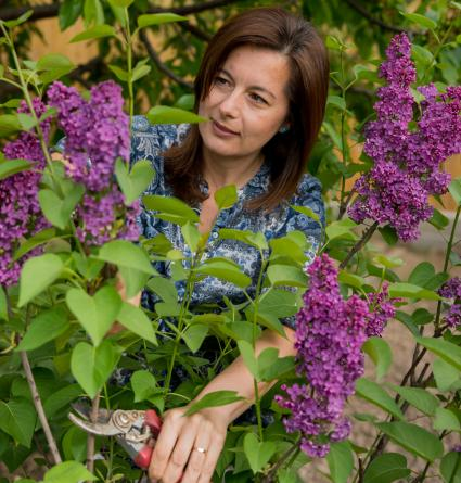 Lilac bush cutting