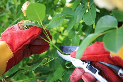 person pruning the rose bush