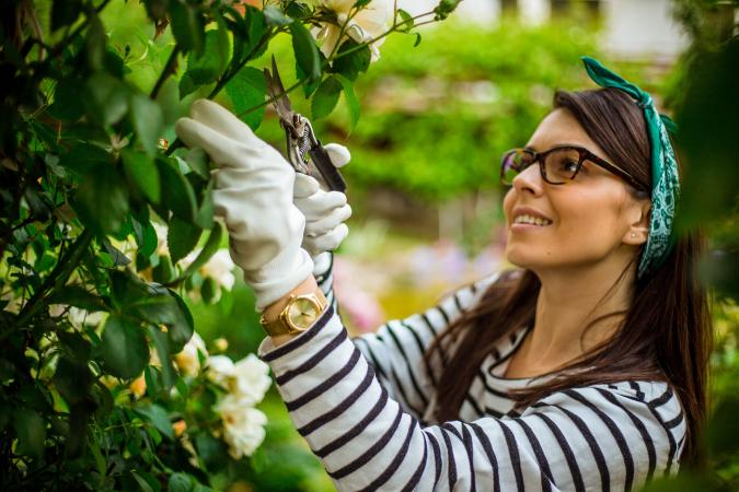 Woman pruning rose bush in garden