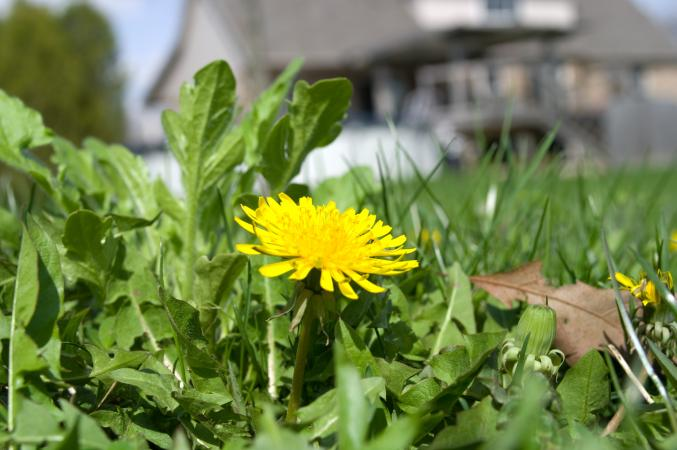 Flowering dandelion weed on a residential lawn