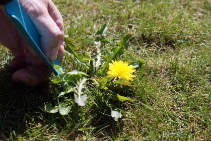 Picking a dandelion from the lawn