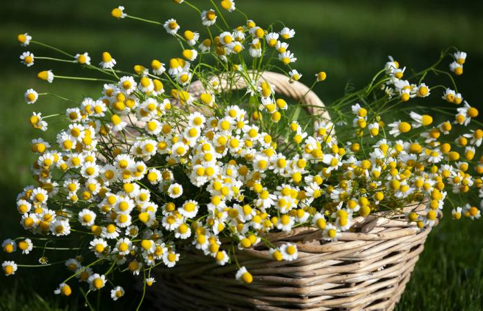 Bunch of chamomile on basket