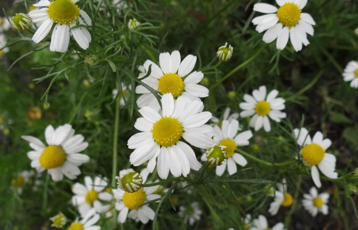 Chamaemelum nobile flower