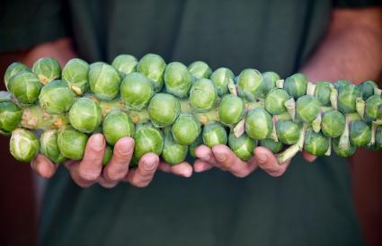 Man Holding Stalk Of Brussels Sprouts