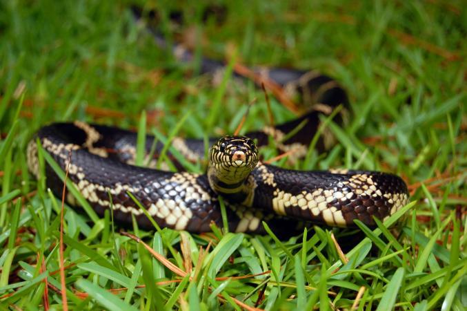 Common kingsnake slithering in grass