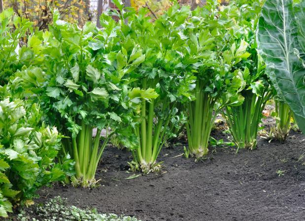 Celery growing in the garden