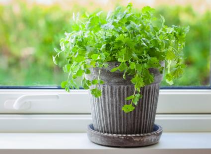 Fresh cilantro herb in flowerpot on window sill