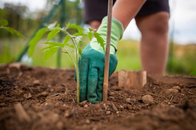 Planting tomato plant in garden